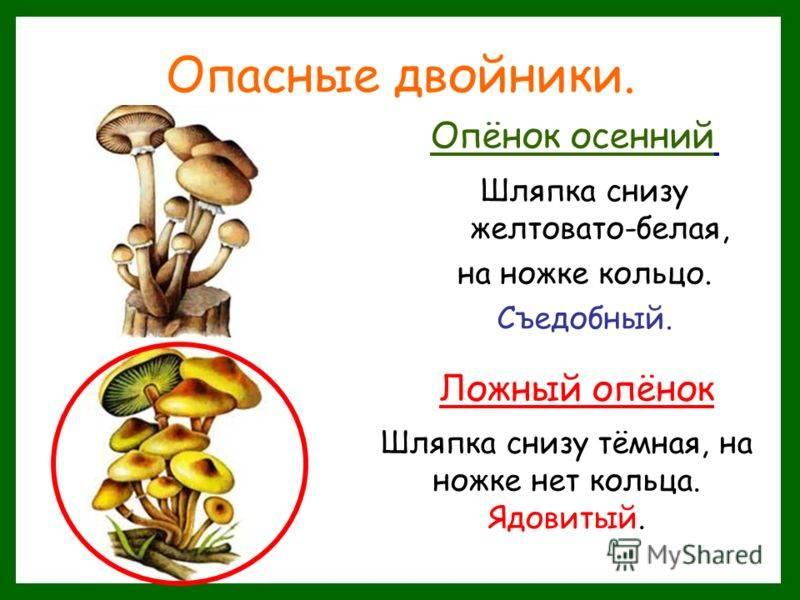 Опенок летний и его опасный двойник: виды, описания, фото, съедобные и несъедобные грибы | tvercult.ru