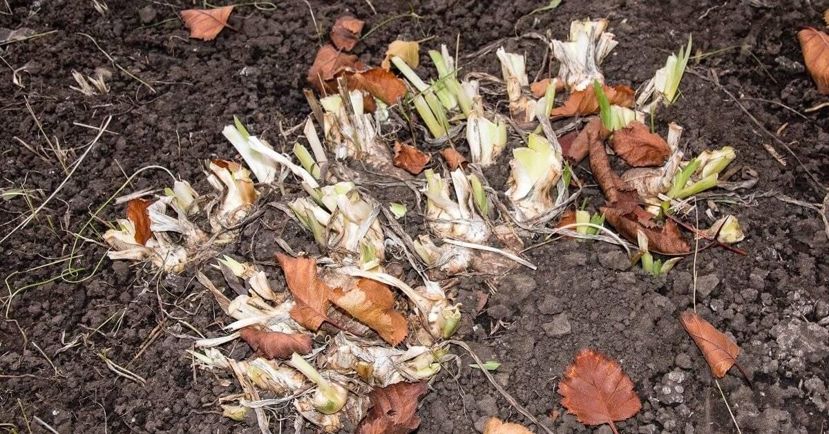 Посадка ирисов осенью — когда и как посадить цветы в открытый грунт