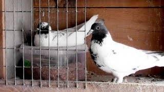 Гнезда для голубей: как сделать своими руками