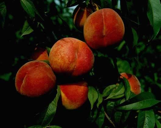 Как вырастить персик из косточки в домашних условиях: посадка и пересадка в открытый грунт, пошаговая инструкция
