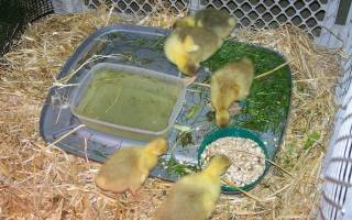 Чем кормить гусят — инструкция для начинающих как правильно кормить птенцов в домашних условиях