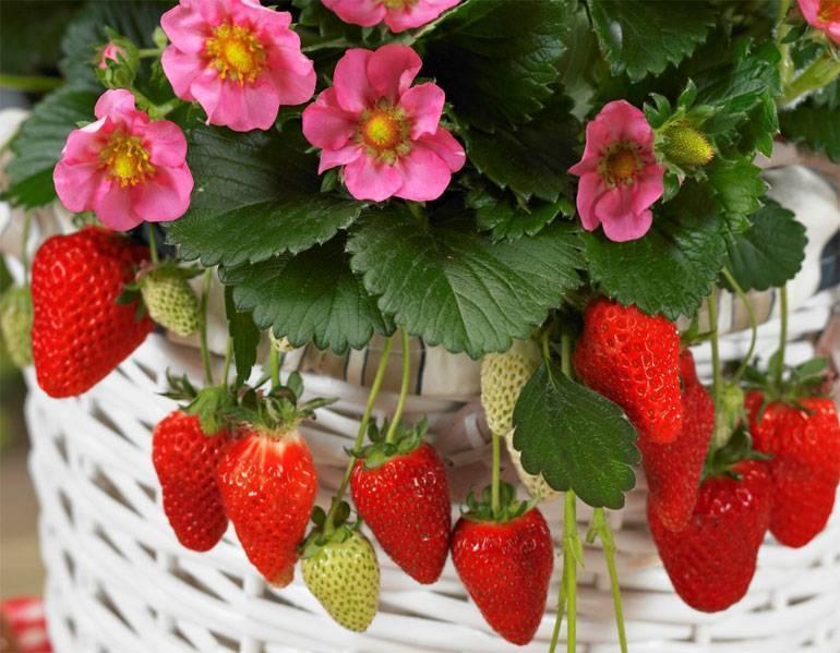 Домашняя клубника: особенности выращивания круглый год