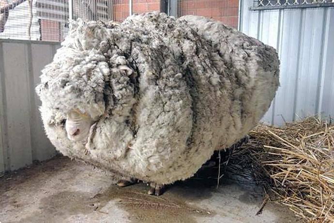 Меринос овца. образ жизни и среда обитания овцы меринос   животный мир