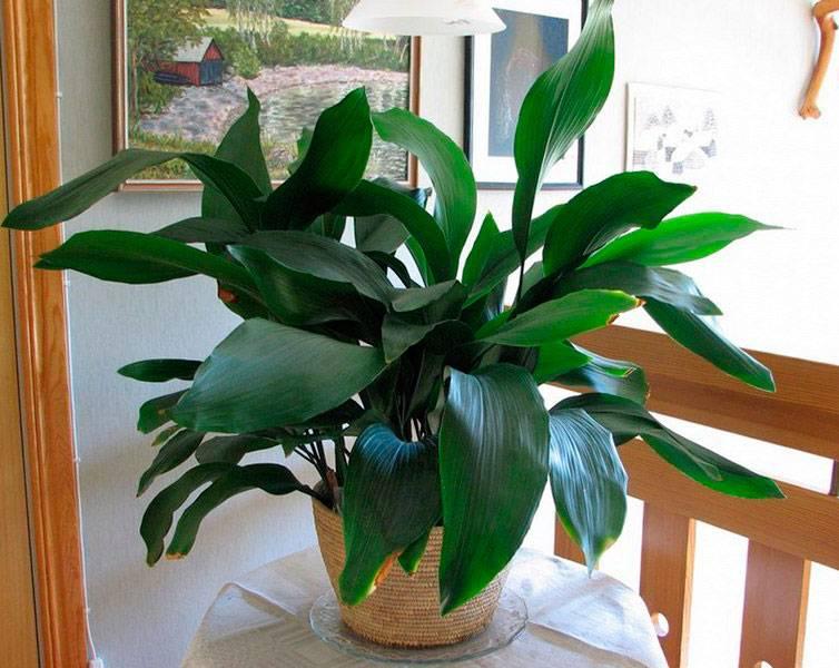Комнатное растение аспидистра: уход, пересадка и размножение в домашних условиях, популярные виды с фотографиями
