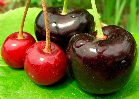 """Сорт черешни """"крупноплодная"""": описание, особенности выращивания"""
