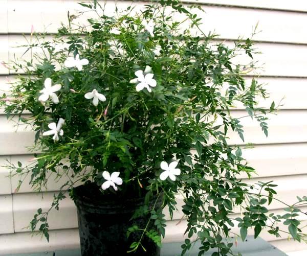 Как ухаживать за кустарником жасмин, выращивание дерева чубушник, применение в дизайне