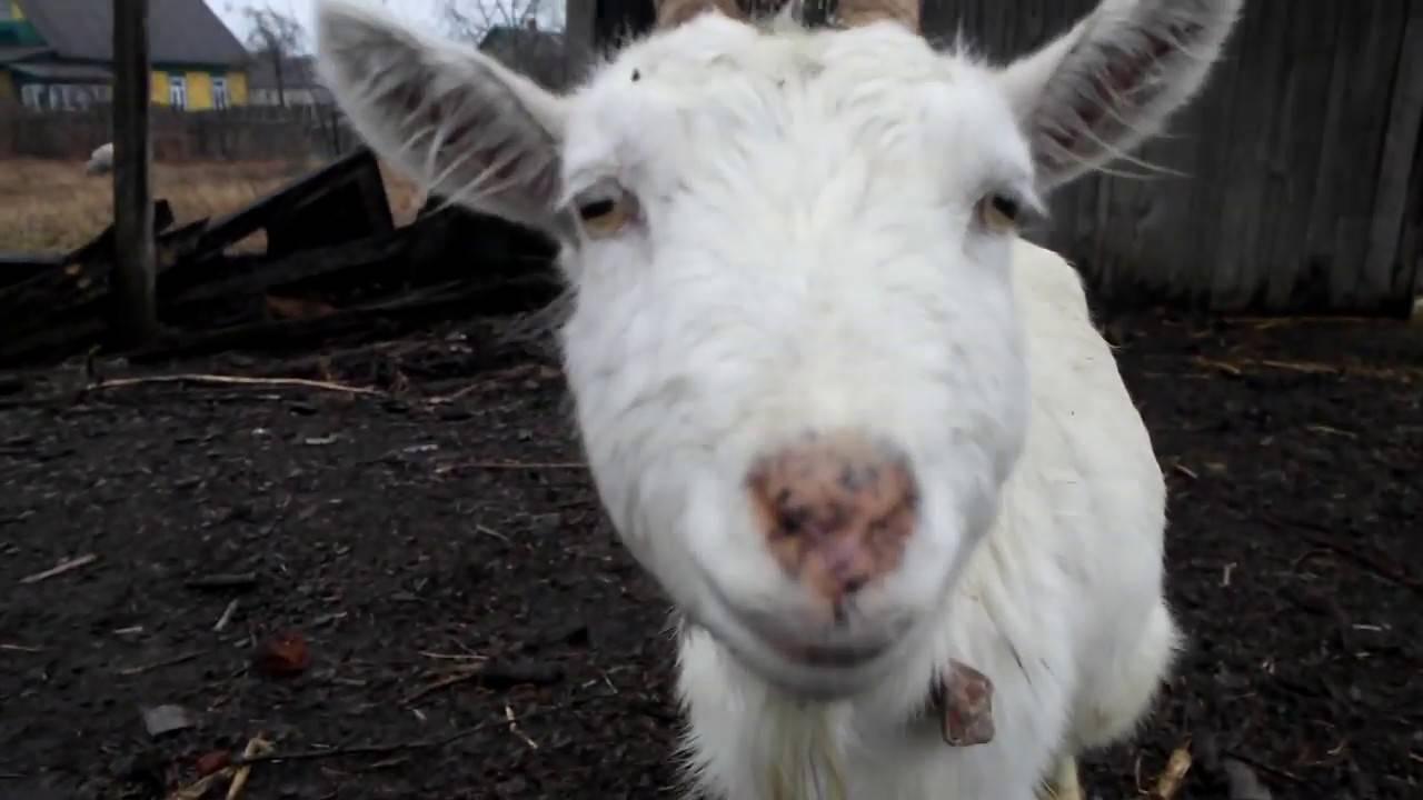 Понос у козы: причины, способы лечения