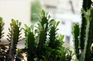 Молочай садовый многолетний посадка и уход, виды, фото и названия