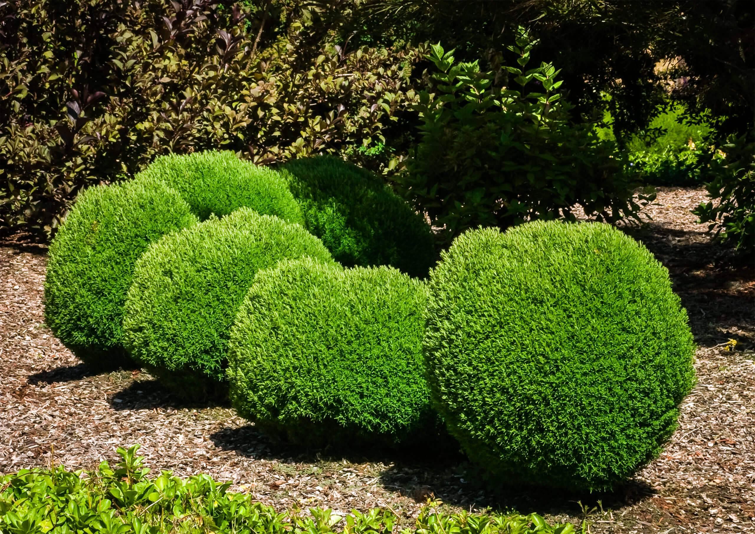 Тедди: туя западная, посадка и уход, выращивание и размножение в саду
