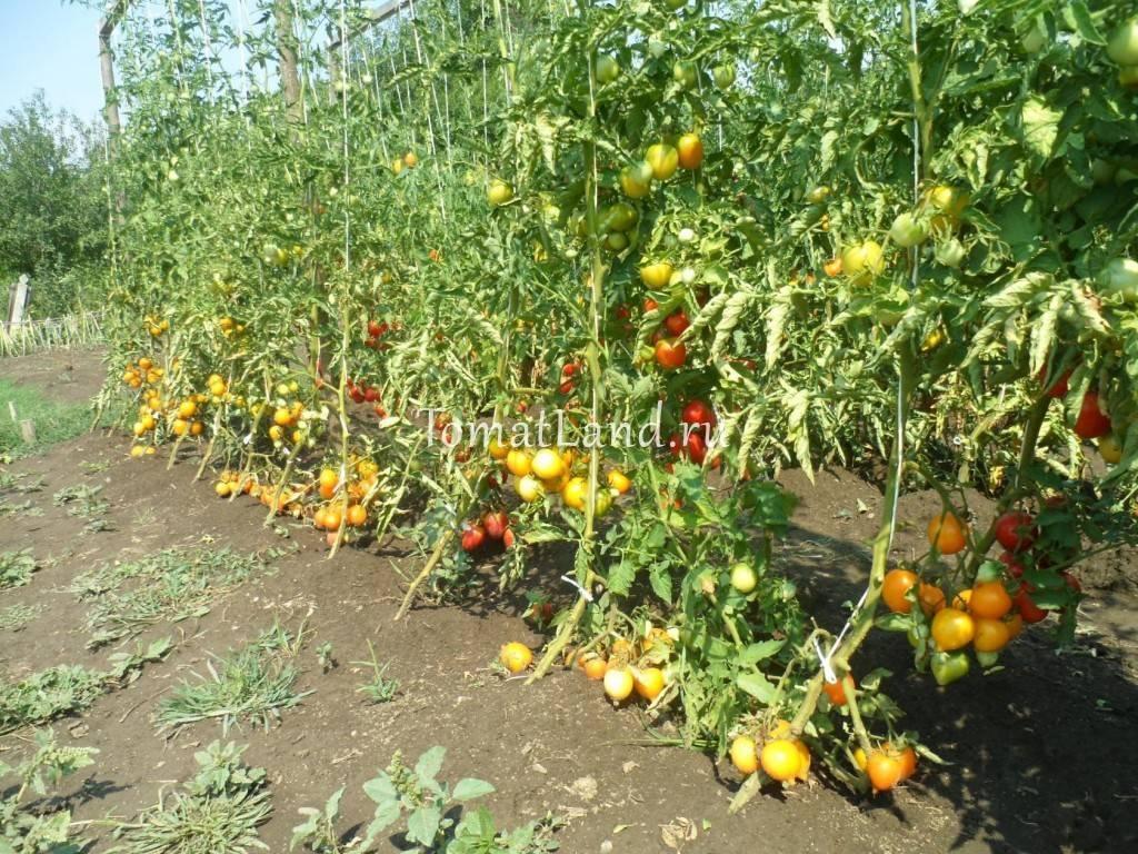 Томат чудо земли - описание сорта, характеристика, урожайность, отзывы, фото