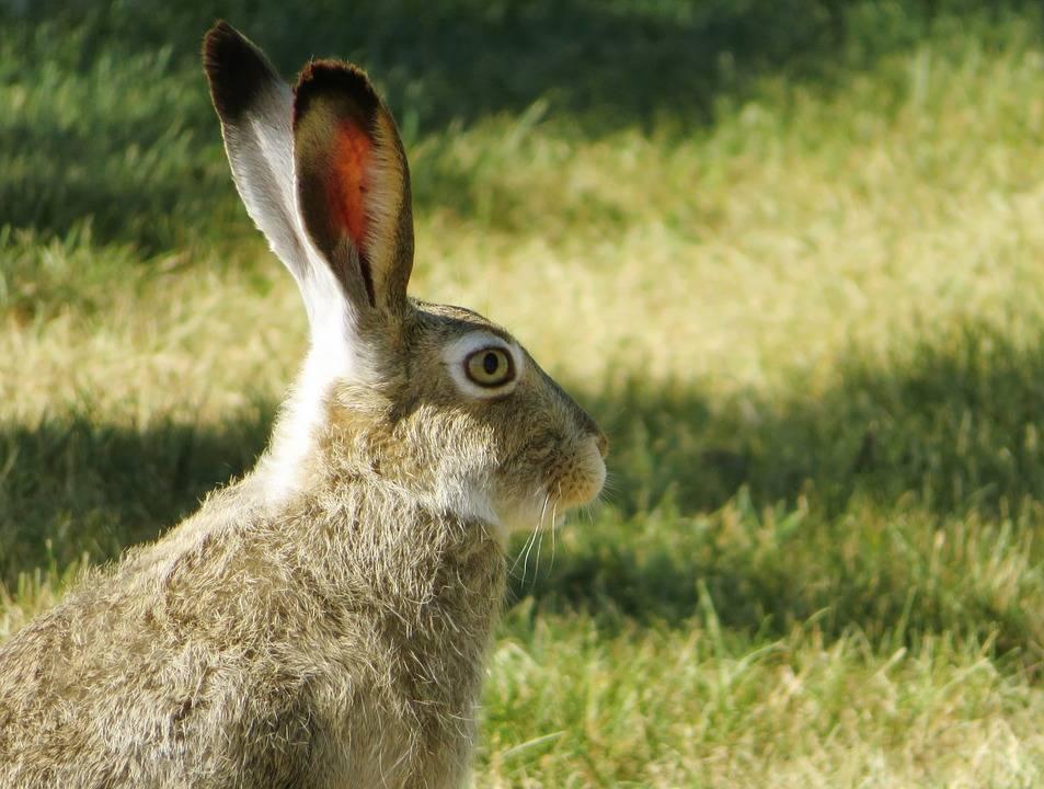Чем кормить зайца в домашних условиях? - люблю хомяков