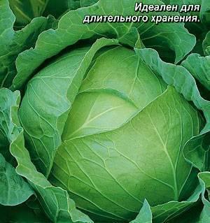 Капуста престиж f1: отзывы об урожайности гибрида, описание сорта и характеристика вкусовых качеств, фото кочанов