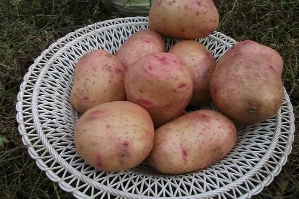 Картофель «Ласунок» — классический сорт, не теряющий популярности
