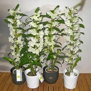 Орхидея дендробиум нобиле: описание, уход и размножение в домашних условиях, видео от специалистов, когда dendrobium nobile отцвела, что делать дальше
