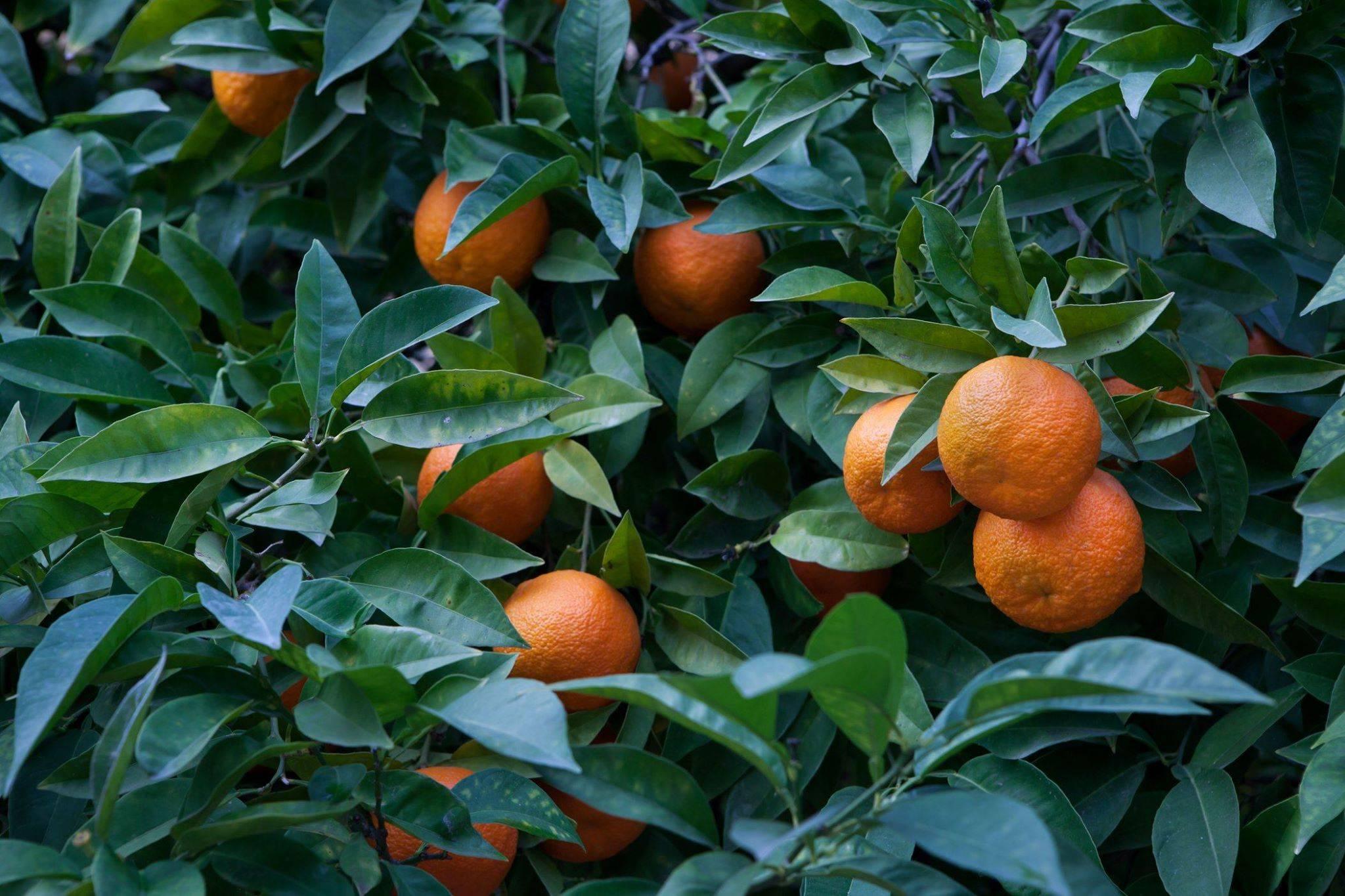 Выращивание Горького апельсина