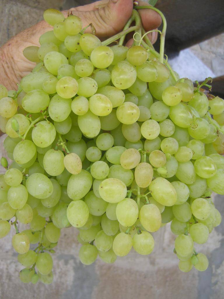 Виноград русбол: описание сорта, фото, посадка и уход, лечение болезней