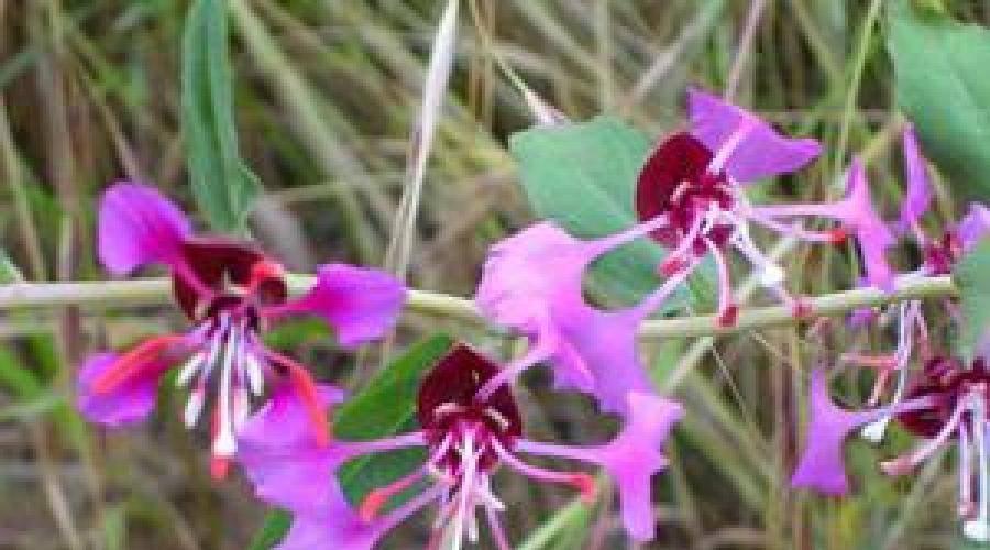 Цветок кларкия: фото, описание, выращивание из семян, уход