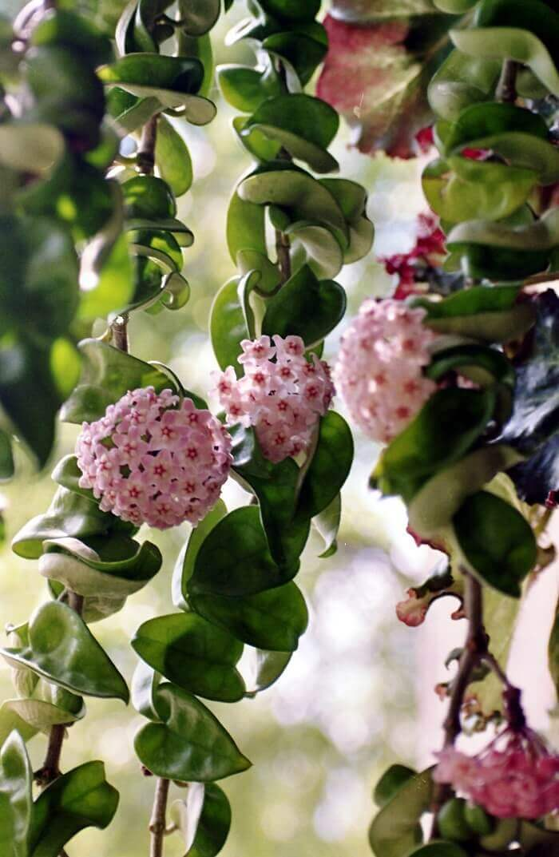 Хойя: описание, посадка, уход и размножение