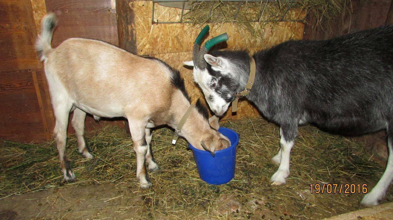 Запуск козы перед окотом: как правильно запустить ее зимой? как кормить козу? за сколько месяцев бросать ее доить?