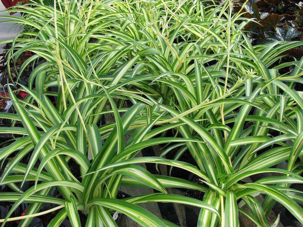 Идеальное растение хлорофитум хохлатый: уход в домашних условиях, фото, размножение