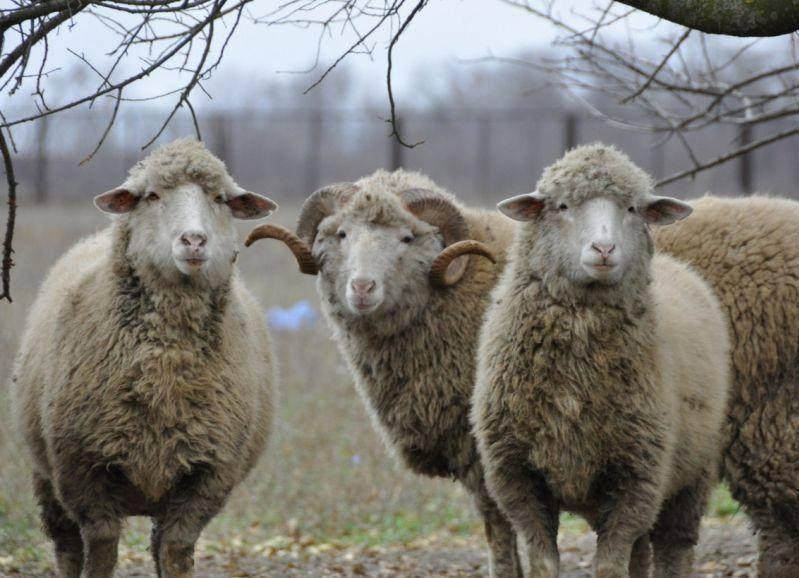 Катумские овцы: характеристика породы, особенности содержания мясных баранов и овец, отзывы владельцев