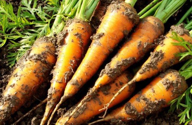 Посадка моркови под зиму: сроки и условия