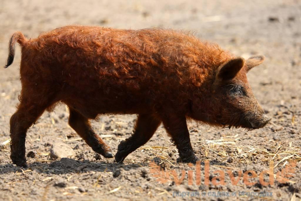 Венгерская мангалица свинья. описание, особенности, уход и цена венгерской мангалицы