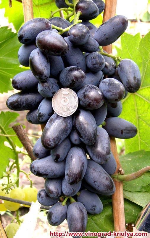 Чудо какой вкусный и удивительно неприхотливый виноград шахтер - сорта винограда | описание, советы, отзывы, фото и видео