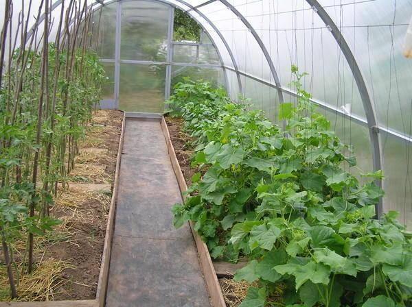 Полив огурцов и поддержание влажности воздуха в теплице