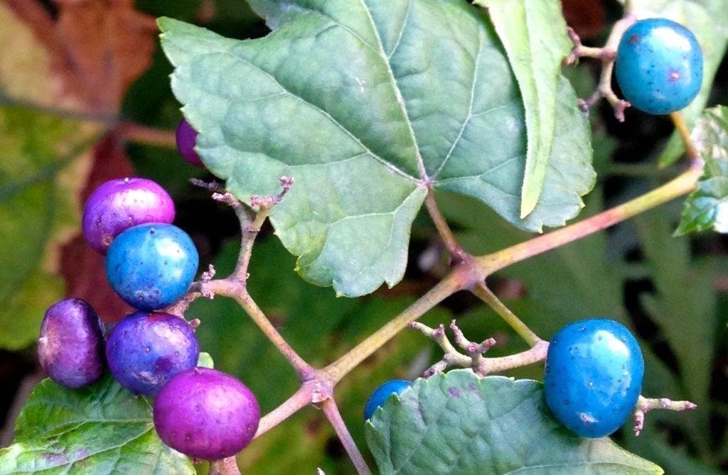 Виноградовник ампелопсис разнолистный | общество | селдон новости