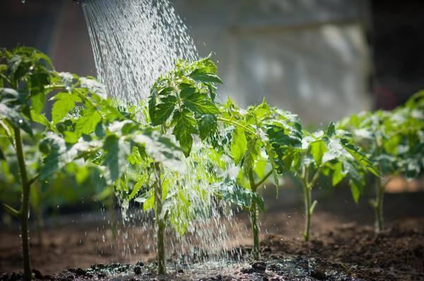 Как поливать огурцы чтобы вырастить хороший урожай