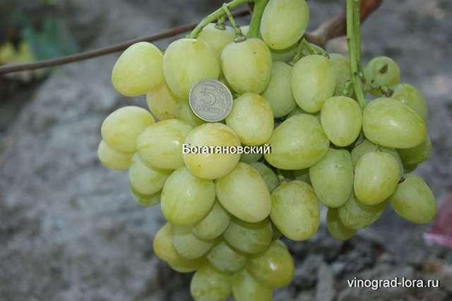 Виноград алекса- описание сорта, правила посадки и выращивания