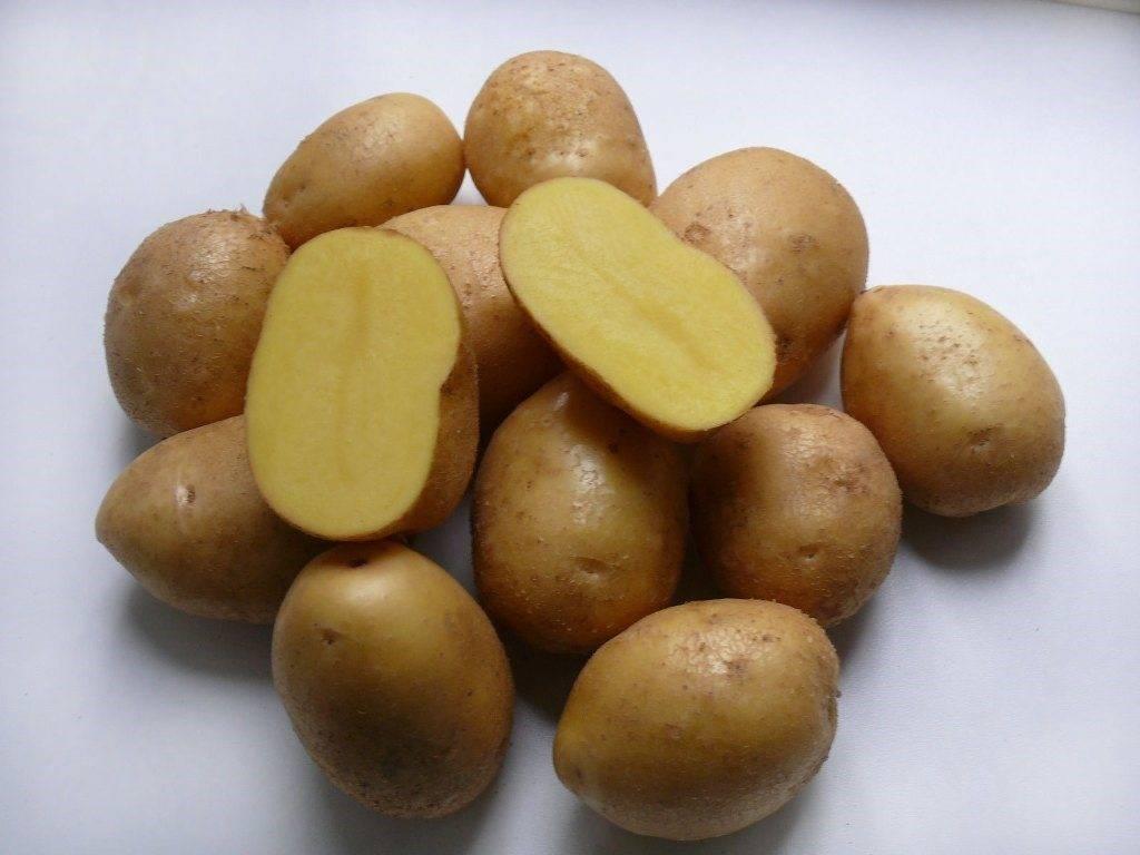 """Картофель """"сынок"""": описание сорта, фото и основные характеристики русский фермер"""