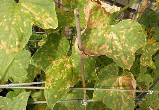 Почему желтеют листья у кабачков?