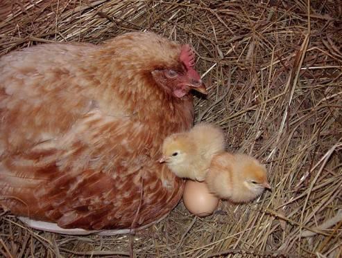Сколько и какие яйца можно подкладывать под курицу наседку