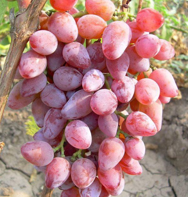 Сорт винограда «тимур» (белый и розовый)