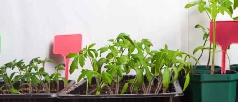 Как и чем подкормить рассаду перца - чтобы были толстенькие