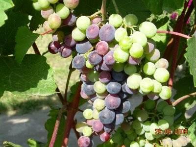 Виноград шахтер: описание сорта, фото, болезни и уход