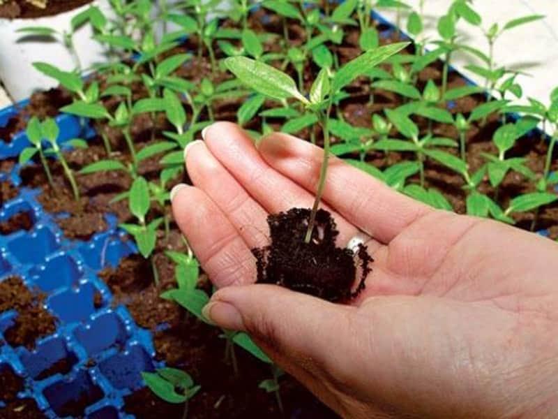 Как правильно удобрить рассаду перца, чтобы получить богатый урожай?