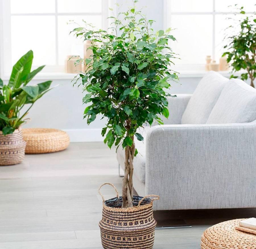 Одно из самых известных комнатных растений — фикус «мокламе»