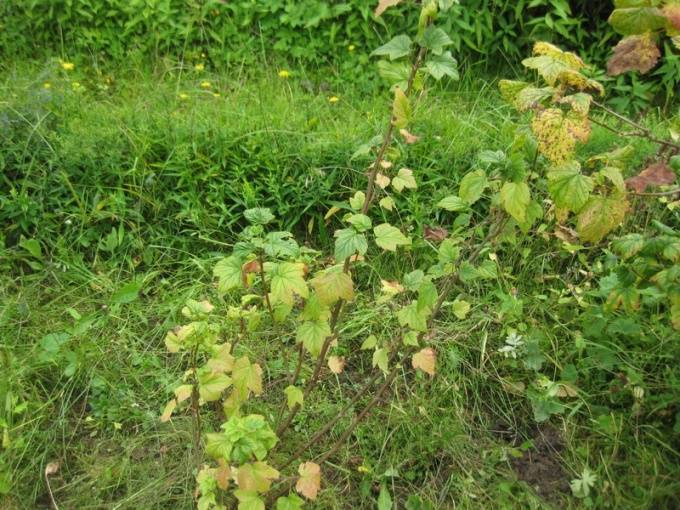 Почему желтеют листья смородины: основные причины