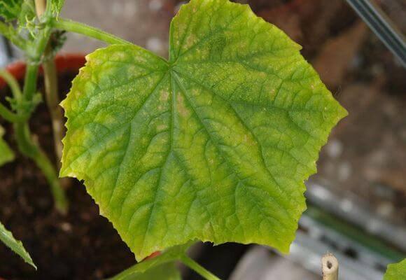 Почему желтеют листья у огурцов и что с этим делать