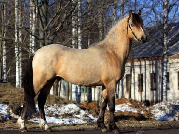 Башкирская порода лошадей: характеристика коня, коневодство в башкортостане