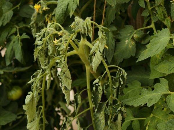 Что предпринять, если у рассады у томатов опадают листья