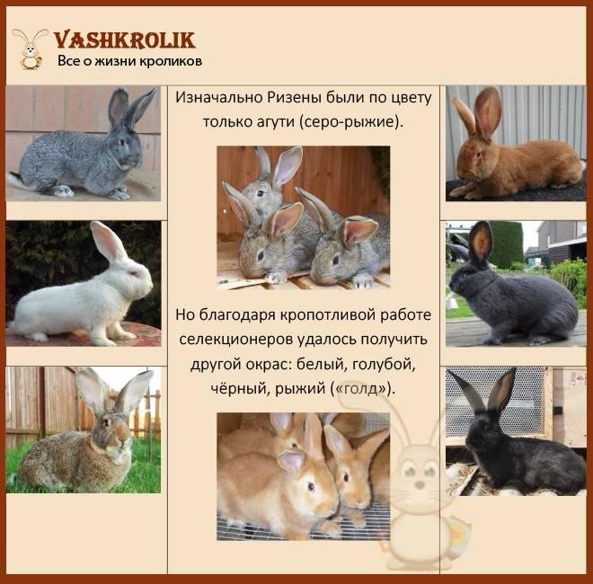 Кролик ризен — описание немецкой породы, характеристика и особенности разведения