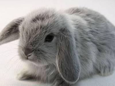Кролики - французский баран: уход и содержание вислоухого кролика