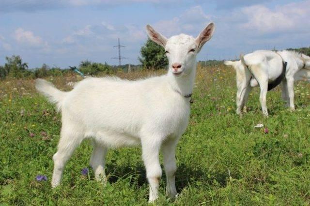 Обзор зааненских коз: характеристика породы, содержания, разведение и фото