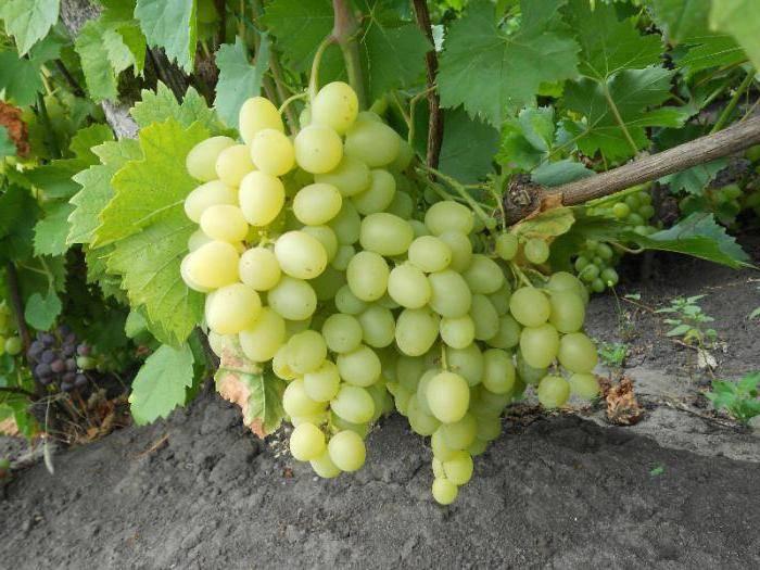Три надежды винограда: азос, аксайская и ранняя — всё о сортах