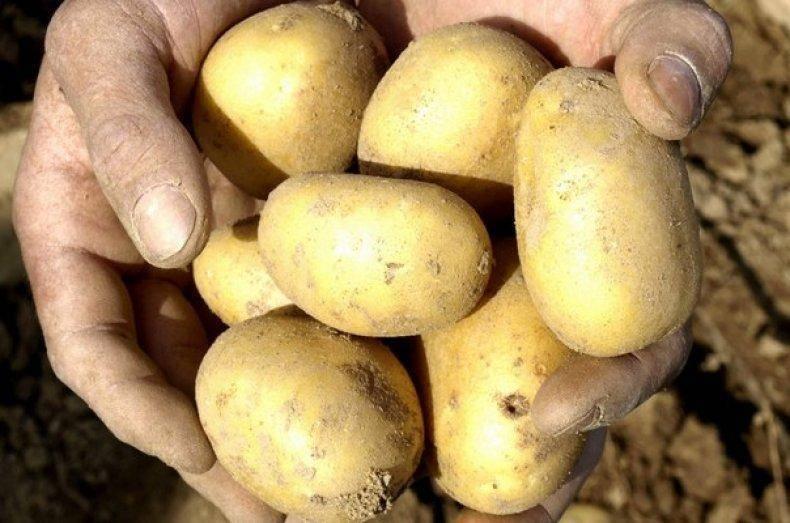 Картофель зекура: описание сорта, отзывы, фото, выращивание