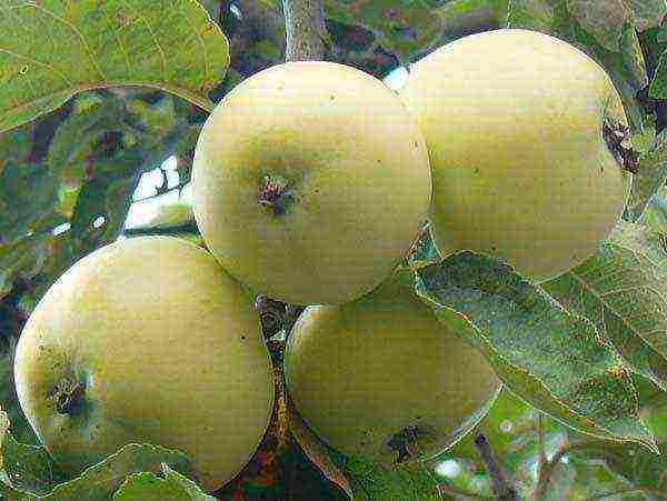 Описание сорта яблони уральское наливное, посадка и уход